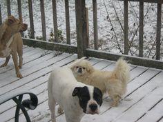 #maxthepitbull #charlie Best friends til the end. Rip little #maxman 2009-2015 #doggiecancersucks