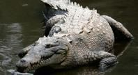 Crocodile   Basic Facts About Crocodiles   Defenders of Wildlife