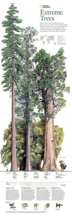 29 Best Ideas For Sequoia Tree Tattoo Nature Giant Tree, Big Tree, Giant Sequoia Trees, Horticulture, Sequoia Sempervirens, Sequoiadendron Giganteum, Bristlecone Pine, Redwood Forest, Tree Forest