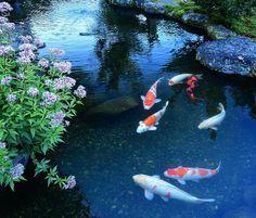 花と鯉と水面の輝き 花 池 鯉 藤枝市 玉露の里 Koi Nature Animals Koi Pond