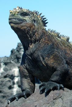 Iguana asexual reproduction advantages