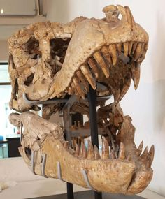 Twitter / EthanCowgill: A terrifying Tarbosaurus skull ...