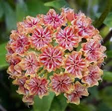 Hoya Mindorensis Orange