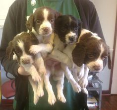 SPRINGER SPANIEL puppies. Ready now. Boys only, liver