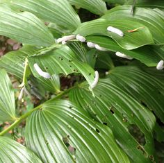 Solomon's Seal Sawfly - nasty grey caterpillars Flower Garden, Solomons, Garden Pests, Plants, Bush, Plant Leaves, Foraging, Garden Inspiration, Flowers