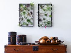 AirplantFrame by Airplantman | A vertical garden displays the soil-free tillandsia plant as a living picture