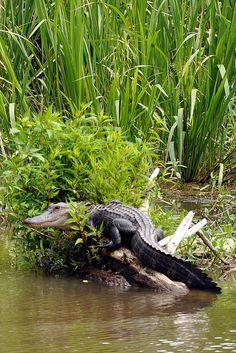 Alligator seen on Cajun Encounters Swamp Tour - Slidell, LA