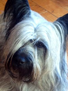 Beautiful Peggy, Skye Terrier!!! Skye Terrier, Terriers, The Kennel Club, Creatures Of The Night, Westies, Best Dogs, Animal Pictures, Dog Breeds, Dogs And Puppies