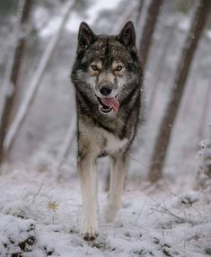 Wolf in the cold snow! Wolf Photos, Wolf Pictures, Nature Photos, Beautiful Wolves, Beautiful Dogs, Animals Tattoo, Wolf Hybrid, Wolf World, Wolf Eyes