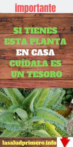 SI TIENES ESTA PLANTA EN CASA CUÍDALA ES UN TESORO #salud #bienestar #lasaludprimero.info