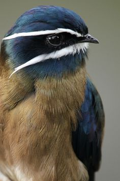 Whiskered Treeswift  -- i like its name almost as much as its colors ...