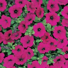 39 varieties of trailing petunia seeds for sale. Use as ground cover, in containers or hanging baskets. Annual Flowers, Big Flowers, Purple Flowers, Amazing Flowers, Trailing Petunias, Purple Petunias, Petunia Care, Flowers That Attract Hummingbirds, Plants Delivered