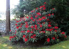 Product Description    Bloom Color:  Red    Bloom Season: Mid-Season    Plant Height(potential in 10 years): Five Feet    Hardy to:  -10    Rhododendron of the Year:  2012 South West    Our quart size plants are plants in their second season.  They are usually about 5 to 6 inches tall and their roots fill a quart size container.  These plants are ready to go into the ground with a bit of extra care or can be transplanted into a two gallon container for further growth.    For shipping, I…