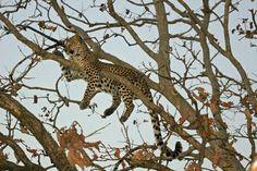 Leopard at Kanha