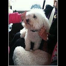 ― Bichon Frise Rescue ― ADOPTIONS Bichon Frise Rescue, Post Animal, Adoption, Dogs, Animales, Foster Care Adoption, Pet Dogs, Doggies