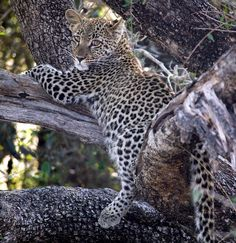 Leopard cub on a tree branch in Sabi Sands, South Africa   by Michael Moss Photography