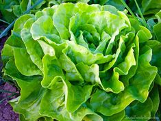 Do you want to start growing lettuce in your backyard garden? Here are a few tips on how to grow lettuce in the garden to improve your harvest! Small Backyard Gardens, Small Space Gardening, Big Backyard, Rustic Backyard, Outdoor Gardens, St Hildegard, Organic Gardening, Gardening Tips, Gardening Books