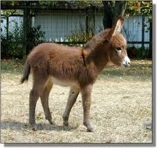 miniature donkey - won't chase the chickens! protective of there home, good natured and gentle, good health long life span!!