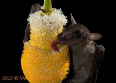 Species New to Science: [Mammalogy / Ecology • 2013] Dawn Bat, Eonycteris spelaea Dobson (Chiroptera: Pteropodidae) Feeds Mainly on Pollen o...