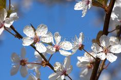 Leuchtende weisse Blueten der Sauerkirsche / Weichselkirsche ( Prunus cerasus ) an einem sonnigen Fruehlingstag. - Nutzungslizenz über FOTOFINDER.COM oder über picturemaxx Foto: © SULUPRESS.DE - Torsten Sukrow