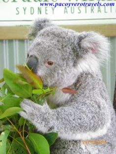 #Koala Featherdale wildlife park #sydney #australia http://www.pacoyverotravels.com/2013/04/como-ir-a-featherdale-wildlife-park-desde-sydney.html