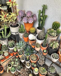 Cactusmans corner It would be special if I didn't have multiple corners cause I'm a plant hoarder #cactus #cactuslove #succulent…