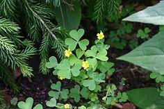 Oxalis stricta est une espèce de plante herbacée du genre Oxalis, indigène en Amérique du Nord, de la famille des Oxalidacées.
