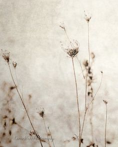 Fine Art Photography Queen Anne's Lace Rustic Print So Shabby8x10KarenWebb Photography