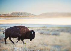 Buffalo Photography, Bison Photo, Southwest Mountains, Landscape Photo, Cowboy Art, Equestrian Photography, Nature Decor - Seldom Is Herd