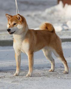 Shiba Inu. Gorgeous.