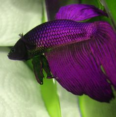 Purple & black Veil Tail - a beauty