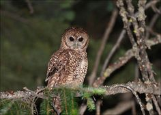 dendroica:  Spotted Owls Using Burned Sierra Forest Slated for...