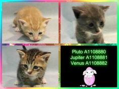 4/25/17 fostered - Out or This World Kittens - eating gruel on their own - now in ACC Foster Care