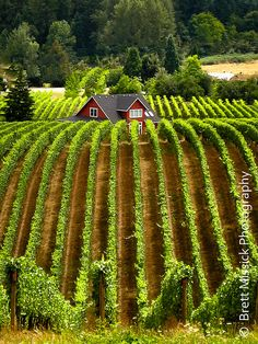 Williamette Valley Vineyard 8x10 Fine Art Print