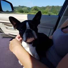Hungary, Boston Terrier, Dogs, Animals, Boston Terriers, Animales, Animaux, Pet Dogs, Doggies