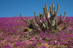 Flowers bloom on the desert in the Llanos de Challe national park, at the doors of the Atacama desert, 600 km north of Santiago, Chile. Desert Flowers, Colorful Flowers, Wild Flowers, Beautiful Flowers, Dry Desert, Desert Life, Champs, Chili, Rare Orchids