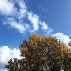 Blue skies and the yellow leaves of Autumn  #autumn #nature #fall #colour #trees #outdoors #weekend