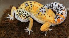 Exotic Pet Reptile: Leopard Gecko - Interesting Facts You Should Know