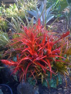 Aechmea recurvata. This is a tough, drought-tolerant bromeliad that can be used…