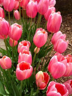 Tulips at Filoli's Woodside, Ca @Julia M