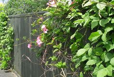 A paling fence slowly being covered with climbing plants.