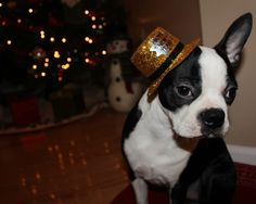 Repin to Wish Happy New Year to All Boston Terrier Dogs Around the World!