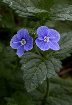 Image result for speedwell flower Pinterest