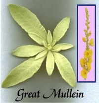 mullein uses