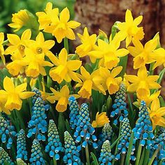 tete a tete daffodils & grape hyacinth