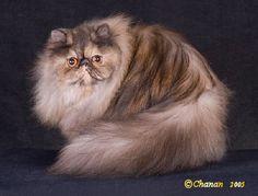 Persian Cats make me laugh.