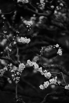3月中旬でようやく梅が撮れた。 @Naiku, Ise, Mie pref. (三重県伊勢市 内宮)