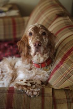 English Setter - I'd love one of these dogs. We have an Irish and Gordon already and I'm not sure our house could hold another Setter Pet Dogs, Dogs And Puppies, Dog Cat, Doggies, English Setter Puppies, Labrador, Irish Setter, Tier Fotos, Dogs Of The World
