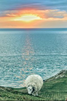 Sunset at the tip of the Llŷn Peninsula - featuring, of course, a sheep.
