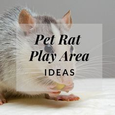"""Very good ideas here! """"All rats should have a free-range area. Even if your rats have a large cage, it is important for them to have time outside the cage to run around and socialize with you. Rat Cage Diy, Pet Rat Cages, Diy Rat Toys, Hairless Rat, Rat Cage Accessories, Rat Care, Rat Hammock, Rat House, Dumbo Rat"""